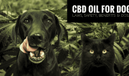 Benefits And Risks Of CBD Oil For Dogs- All You Need To Know